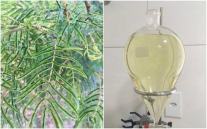 A folha de jurema-branca e o óleo pronto para uso