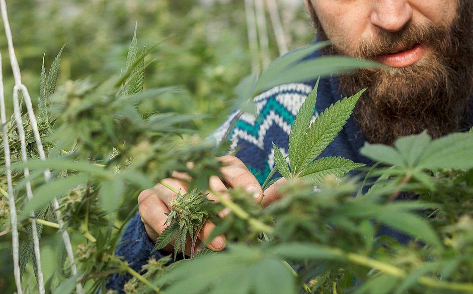 Comprar e receber sementes de Cannabis via Correios não é crime, diz ministro do STF