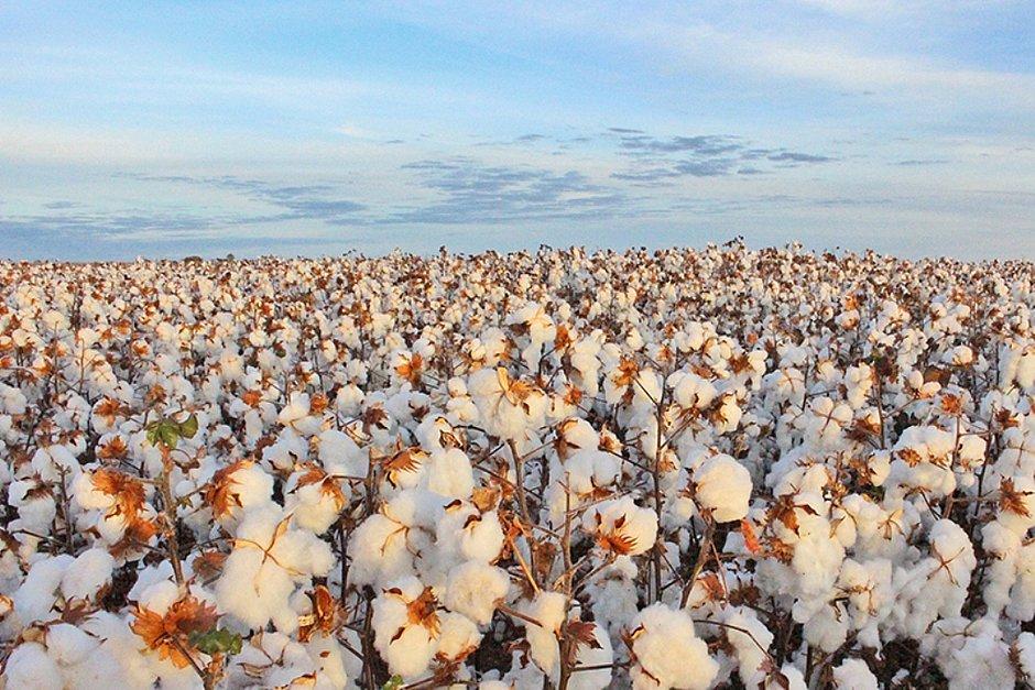 Safra de algodão cresce 17% na Bahia
