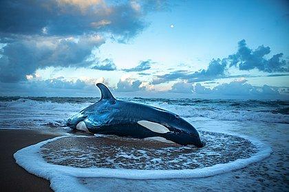 Orca que encalhou em Guarajuba é eutanasiada por não ter chance de sobreviver