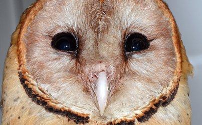 As corujas produzem poucas lágrimas.