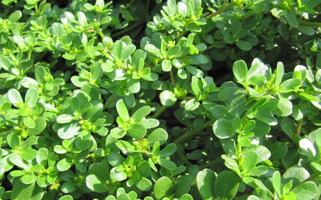 Beldroega é uma Panc (planta alimentícia não convencional), que nasce facilmente em diversos lugares da mundo. Pode ser usado tanto em saladas como pratos cozidos, como refogados e assados. Precisa de muito sol e água suficiente para não encharcar o