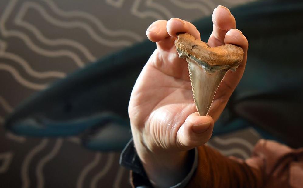 O estudioso de fósseis Philip Mullaly mostra um dente de tubarão gigante, quase o dobro do atual tubarão branco, no Museu de Melbourne.