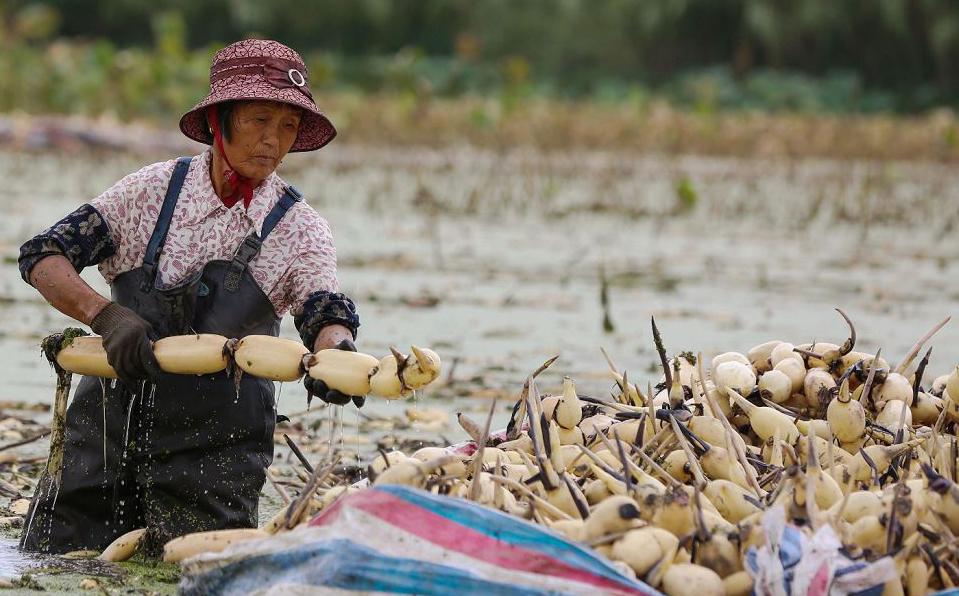 Agricultora colhe as raízes de Lótus em Haian no leste da província de Jiangsu, na China.