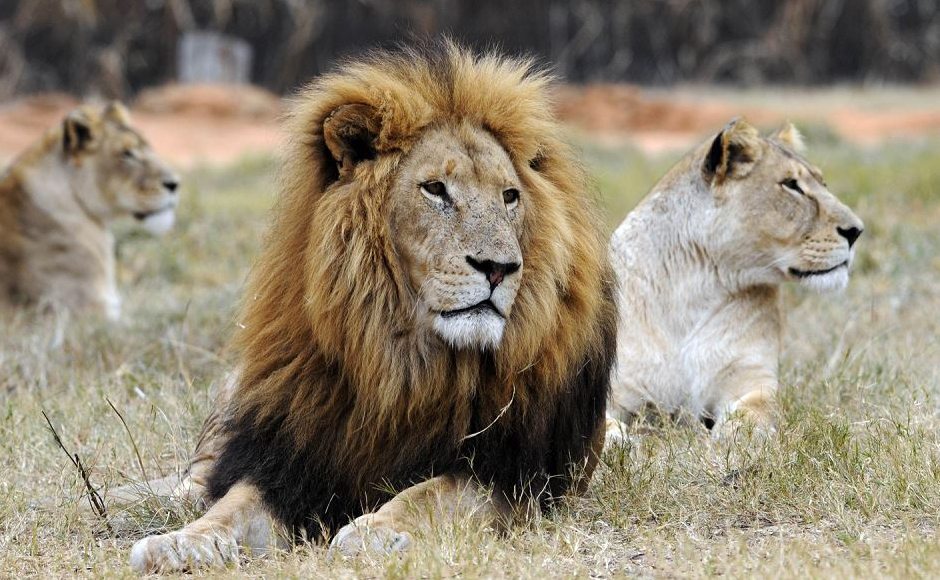 Um leão e duas leoas descansam no Lions Park, perto de Pretória. Legisladores Sul-africanos tentam acabar com a reprodução de leões para a caça e comércio de seus ossos, A África do Sul tem até 8.000 leões em cativeiro.