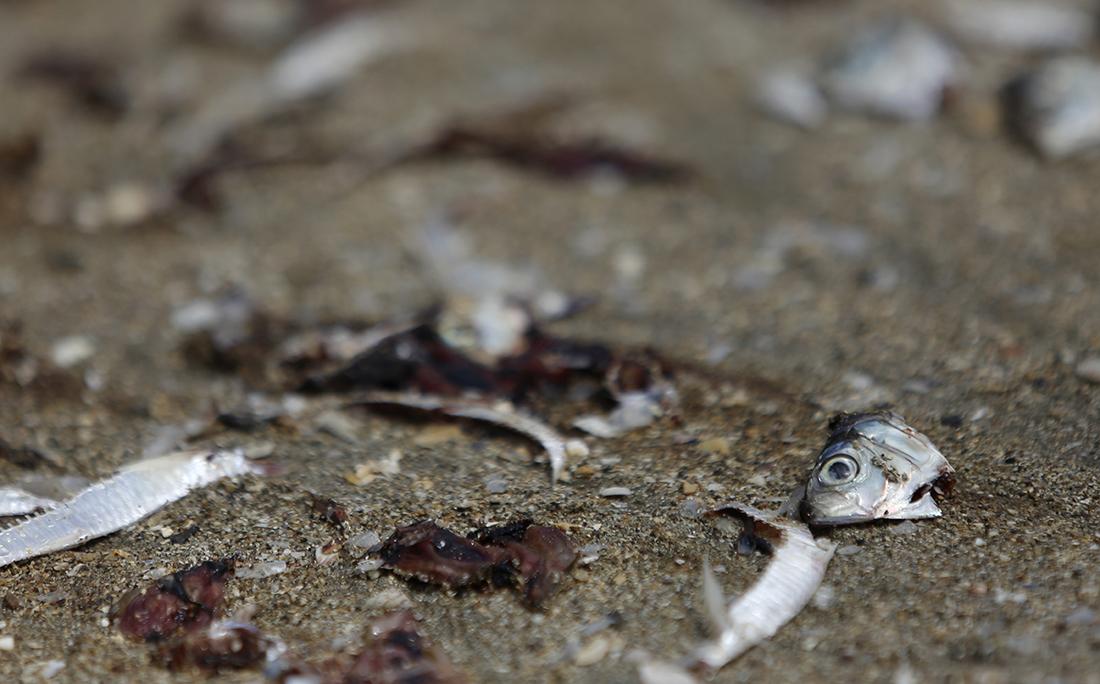 Restos dos peixes tratados ficam espalhados pela areia.